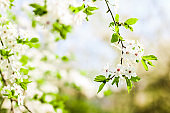 Cherry tree blossom in spring, white flowers as nature background