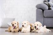 Beautiful labrador puppies at home