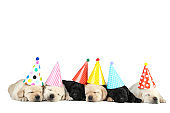 Labrador puppies in birthday caps isolated on white background