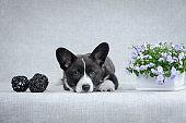 Sweet welsh corgi cardigan puppy on grey background
