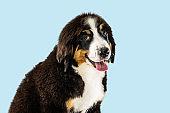 Studio shot of berner sennenhund puppy on blue studio background