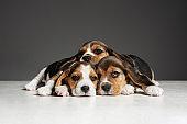 Studio shot of beagle puppies on grey studio background