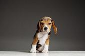 Studio shot of beagle puppy on grey studio background