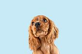 Studio shot of english cocker spaniel dog isolated on blue studio background