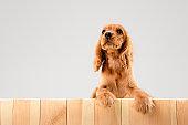 Studio shot of english cocker spaniel dog isolated on white studio background