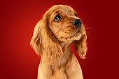 Studio shot of english cocker spaniel dog isolated on red studio background