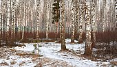 White birch forest covered with white snow against beautiful sunset in winter. Latvia
