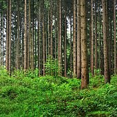 Majestic green pine tree forest, Herford, Germany