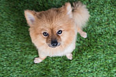 Pomeranian dog on green grass