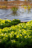 Lettuce crops on the fertile banks of Niger river close to Niamey