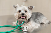 Dog breed Yorkshire terrier lies next to a stethoscope on a metal table in a veterinary clinic. Pet health care concept. Posing like vet doctor