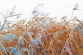 View of the reeds in the autumn in blue light