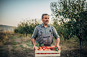 Mature man picking up apples in orchard