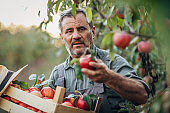 Man farmer picking up apples in orchard