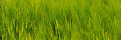 ears of young green wheat sway in the wind. Web banner for your design.