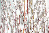 Frame for text from willow branches with buds. Spring frame for text from natural willow branches. Greeting frame for easter spring