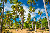 Tropical forest with coconut palm trees