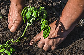Farmer planting to soil seedling of tomatoes in the vegetable garden. Organic farming and spring gardening concept.