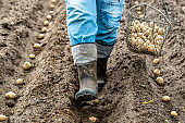 Farmer during potato planting, seedlings of potatoes in field, organic farming