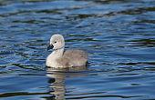 Mute Swan Cygnet (Cygnus olor)