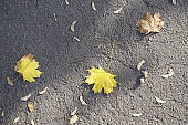 Three fallen leaves of maple on dry asphalt from above