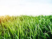 Bright lush grass in sunlight. Location rural place of Ukraine, Europe.