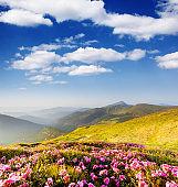 Magic pink rhododendron flowers on summer mountain. Carpathian, Ukraine.