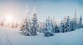 Majestic winter trees glowing by sunlight. Location Carpathian national park, Ukraine.