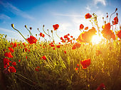 Blooming red poppies on field against the sun, blue sky.