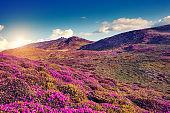 Magic pink rhododendron flowers on summer mountain. Carpathian, Ukraine, Europe.
