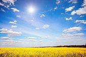 Vivid canola field in sunlight. Location rural place of Ukraine, Europe.