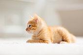 Baby cat. Ginger kitten sleeping on blanket