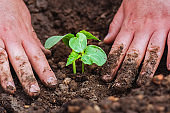 Man's hand planting cucumber seedling in humus ground.