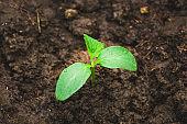 Close up of cucumber seedling in humus ground.