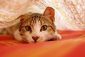 Young tabby cat playing hunt under the blankets on bed. Worm's eye, low angle shot.