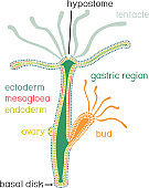 Structure of Hydra. Cross-section of Hydra Polyp. Educational material for lesson of zoology