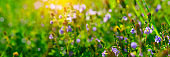 Banner 3:1. Close up of Nemophila (baby blue eyes) flowers with sunlight rays. Spring background. Copy space. Soft focus