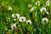 Close up dandelion flowers. Spring background. Copy space. Soft focus