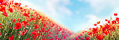 Web banner 3:1. Red poppy flowers field on hills. Spring background
