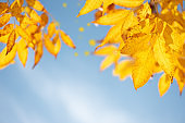 Close-up yellow ash tree leaves on tree against blue sky. Autumn fall background. Colorful foliage.