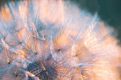 Close up seeds of dandelion flower in sunset rays. Back light. Summer nature background. Macro. Soft focus