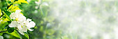 Web banner 3:1. Border from apple tree blossom. Spring background. Copy space