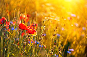 Poppy flowers and cornflowers in wheat field on sunset. Soft focus. Summer nature background
