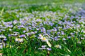Soft focus carpet of Nemophila (baby blue eyes) flowers. Spring background. Copy space