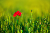 Lonely poppy flower in wheat field on sunset. soft focus. Harvest Concept. Summer nature background