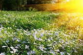 Soft focus carpet of Nemophila (baby blue eyes) flower with sunlight rays. Spring background. Copy space