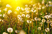 Close up dandelion flowers with sunlight rays. Spring background. Copy space. Soft focus