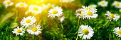 Banner 3:1. Close up daisy (chamomile) flowers with sunlight rays. Spring background. Copy space. Soft focus