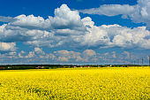 Yellow field rapeseed in bloom. Spring background. Copy space. Soft focus