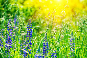 Field with purple lupine flowers with sun rays. Soft focus. Nature background